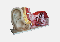 The huge ear model
