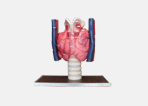 The huge thyroid gland model